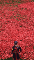 beefeater in poppies